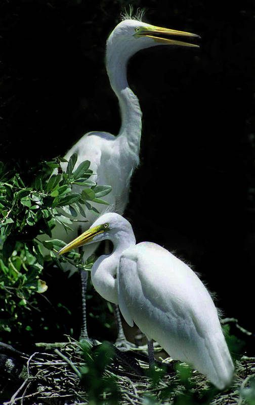 Names Of Birds Print featuring the photograph Great Egret Pair by Skip Willits