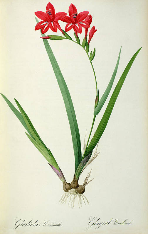 Gladiolus Print featuring the drawing Gladiolus Cardinalis by Pierre Joseph Redoute