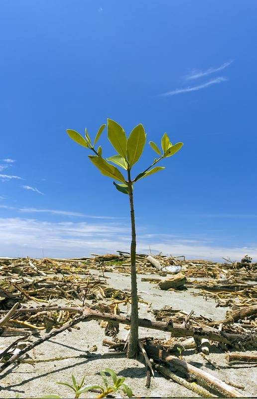Tropical Print featuring the photograph Mangrove Seedling On A Beach by Science Photo Library