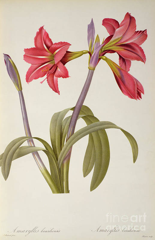 Amaryllis Print featuring the drawing Amaryllis Brasiliensis by Pierre Redoute