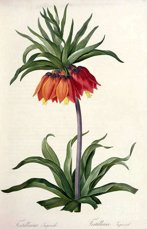 Fritillaria Print featuring the drawing Fritillaria Imperialis by Pierre Joseph Redoute