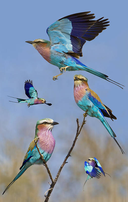 Bird Print featuring the photograph Lilac-breasted Roller Collage by Basie Van Zyl
