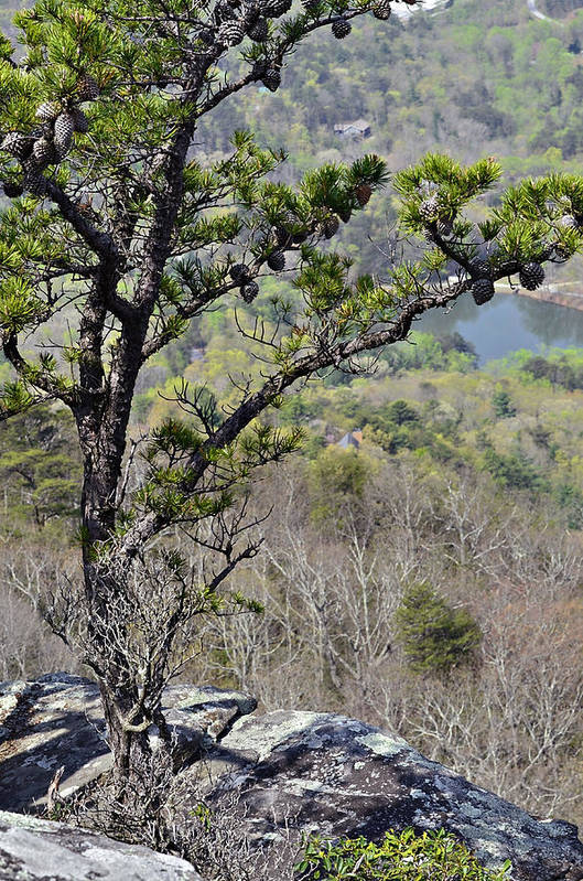 Nature Print featuring the photograph Pine Tree On A Mountain by Susan Leggett