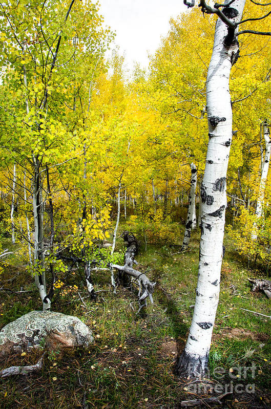 Fall Color Print featuring the photograph Yellow Aspens by Baywest Imaging