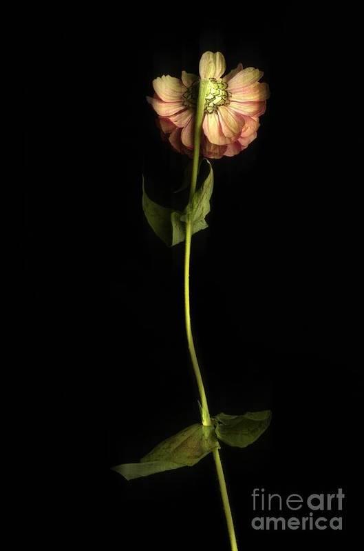 Studio Shot Print featuring the photograph Zinnia by Bernard Jaubert