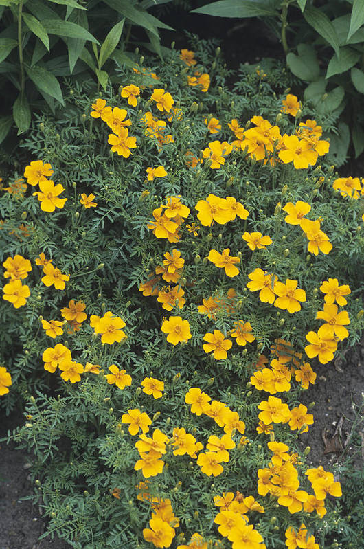'tangerine Gem' Print featuring the photograph Marigolds (tagetes 'tangerine Gem') by Adrian Thomas