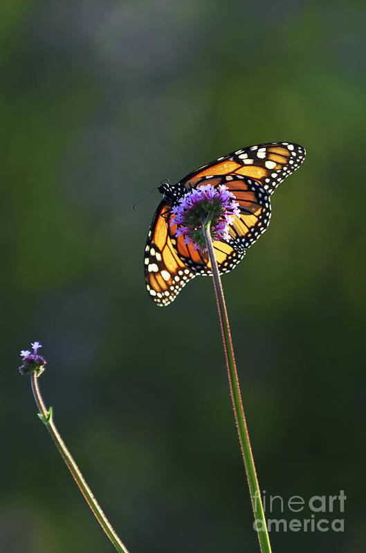 Butterfly Print featuring the photograph Monarch Butterfly by Elena Elisseeva