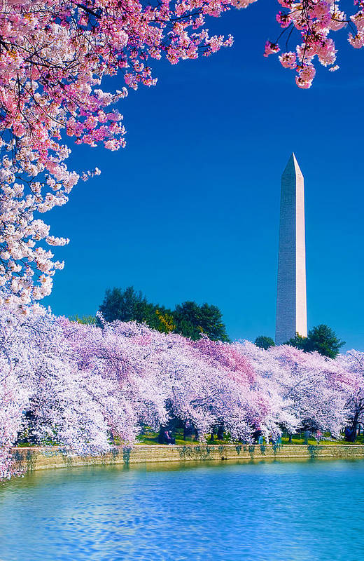 Cherry Blossoms Print featuring the photograph Cherry Blossoms by Don Lovett