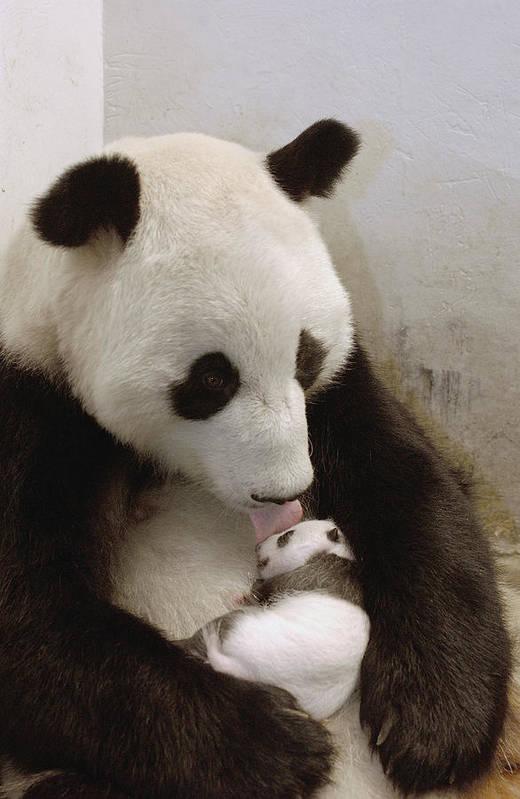 Mp Print featuring the photograph Giant Panda Ailuropoda Melanoleuca Xi by Katherine Feng