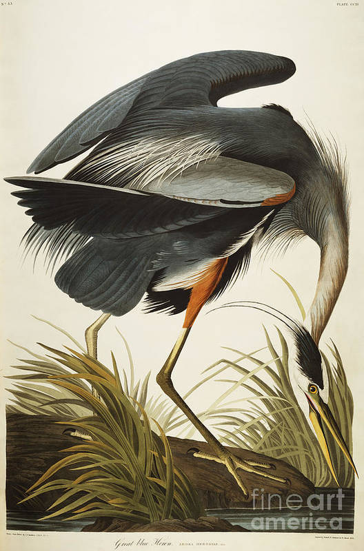 Great Blue Heron (ardea Herodias) Plate Ccxi From 'the Birds Of America' (aquatint & Engraving With Hand-colouring) By John James Audubon (1785-1851) Print featuring the drawing Great Blue Heron by John James Audubon