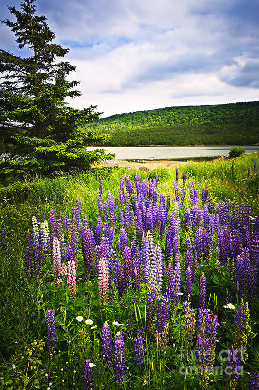Flowers Print featuring the photograph Lupin Flowers In Newfoundland by Elena Elisseeva