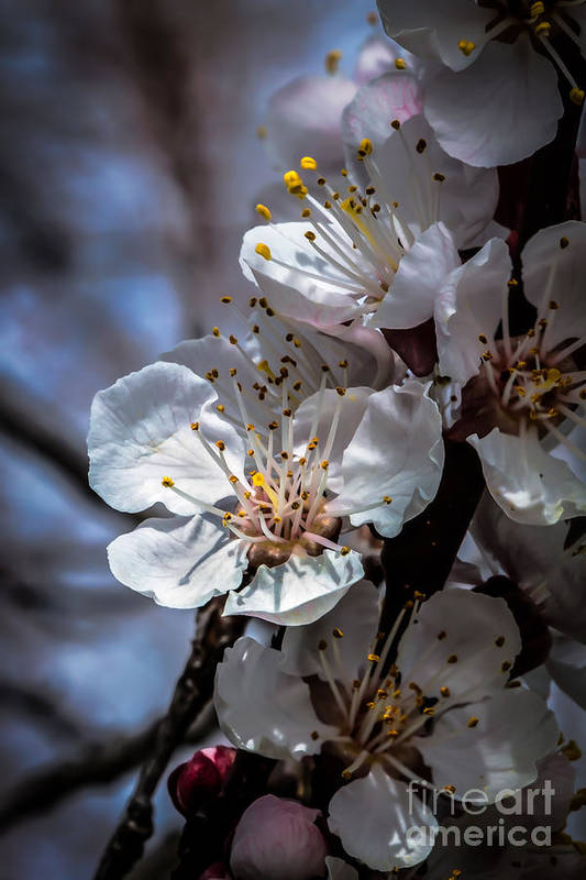 Flowering Trees Print featuring the photograph Apple Blossoms by Robert Bales