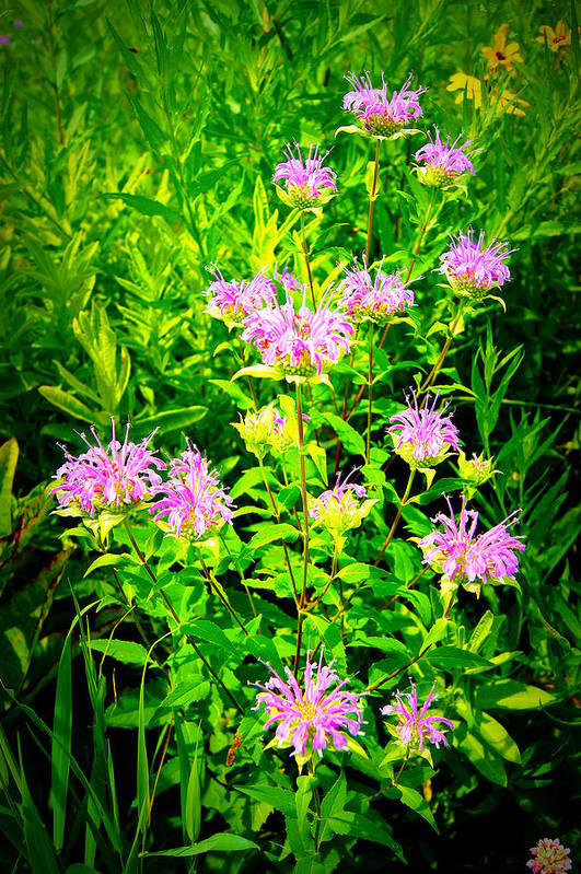 Print featuring the photograph Bee Balm Of The Butterfly Gardens Of Wisconsin by Carol Toepke