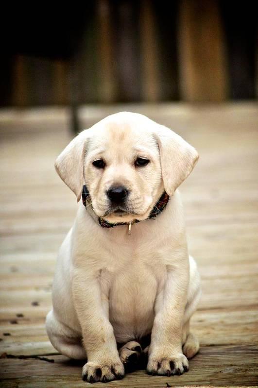 Labrador Retriever Print featuring the photograph Blond Lab Pup by Kristina Deane