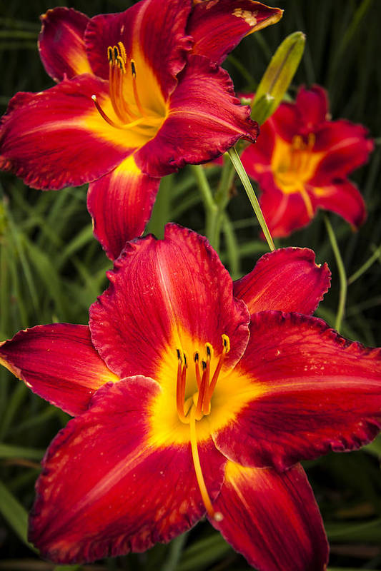 3scape Photos Print featuring the photograph Day Lilies by Adam Romanowicz