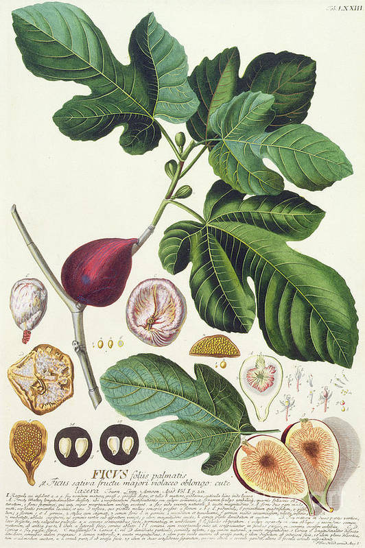 Print; Ficus; Palm Leaf; Cross Section; Seeds; Fruit; Figue; Figuier; Feuille Print featuring the painting Fig Engraved By Johann Jakob Haid by German School