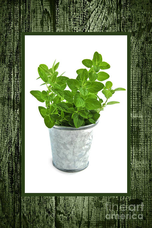 Oregano Print featuring the photograph Green Oregano Herb In Small Pot by Elena Elisseeva