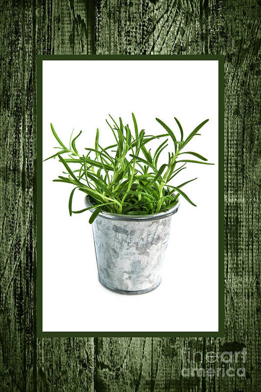 Rosemary Print featuring the photograph Green Rosemary Herb In Small Pot by Elena Elisseeva