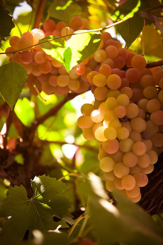 Grape Print featuring the photograph Harvest Time. Sunny Grapes IIi by Jenny Rainbow