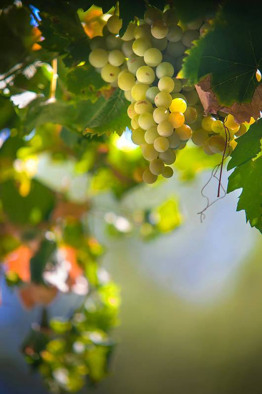 Grape Print featuring the photograph Harvest Time. Sunny Grapes V by Jenny Rainbow