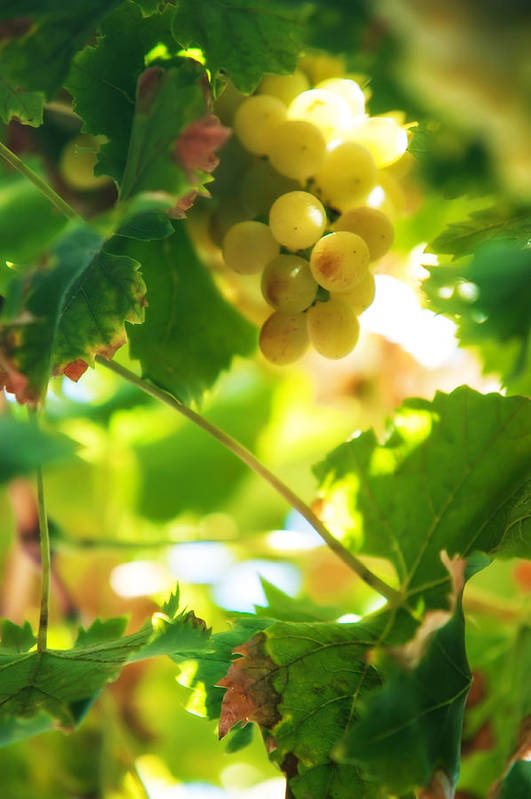Grape Print featuring the photograph Harvest Time. Sunny Grapes Vii by Jenny Rainbow