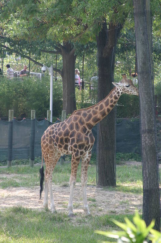 National Print featuring the photograph National Zoo - Giraffe - 12124 by DC Photographer