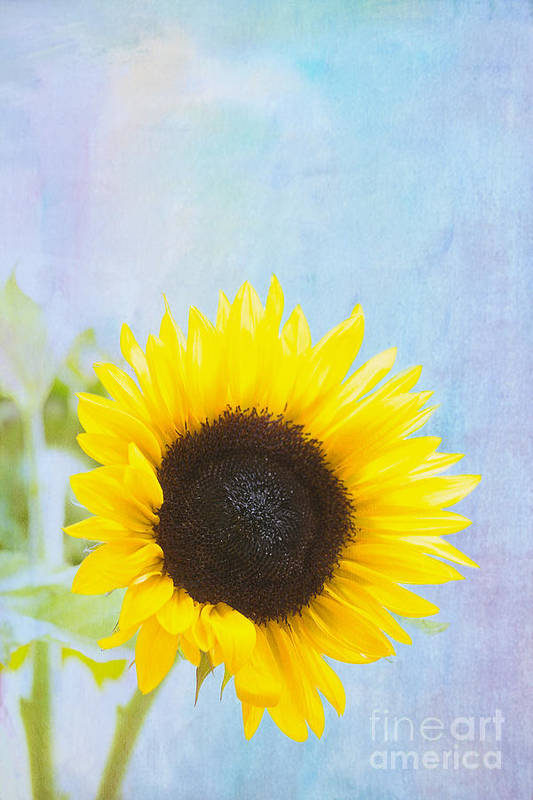 Sunflower Print featuring the photograph One Sunflower by Kay Pickens