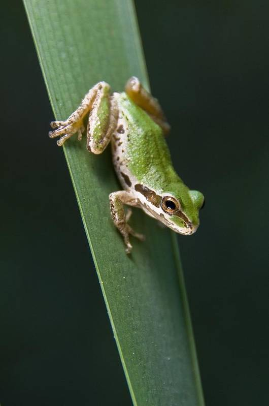 Amphibians Print featuring the photograph Pacific Tree Frog Pseudacris Regilla by Jack Goldfarb
