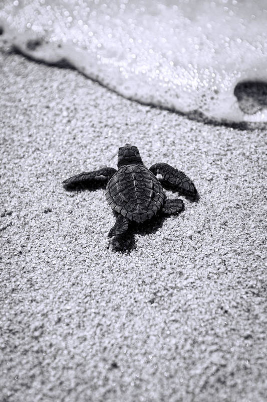 Baby Loggerhead Print featuring the photograph Sea Turtle by Sebastian Musial