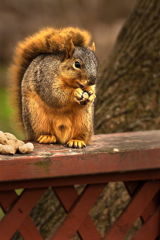 Eastern Fox Squirrel Print featuring the photograph Squirrel Eating A Peanut by Onyonet Photo Studios