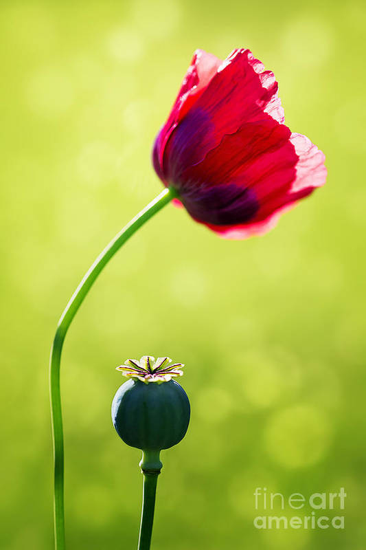 Poppy Print featuring the photograph Sunlit Poppy by Natalie Kinnear