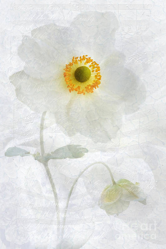 Anemone Hupehensis Print featuring the photograph Symphony by John Edwards