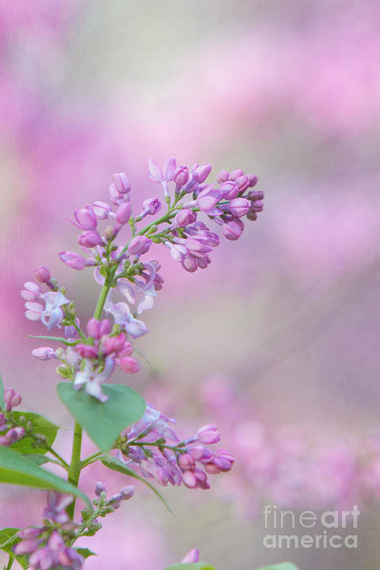 Lilac Print featuring the photograph The Lilac by Kay Pickens