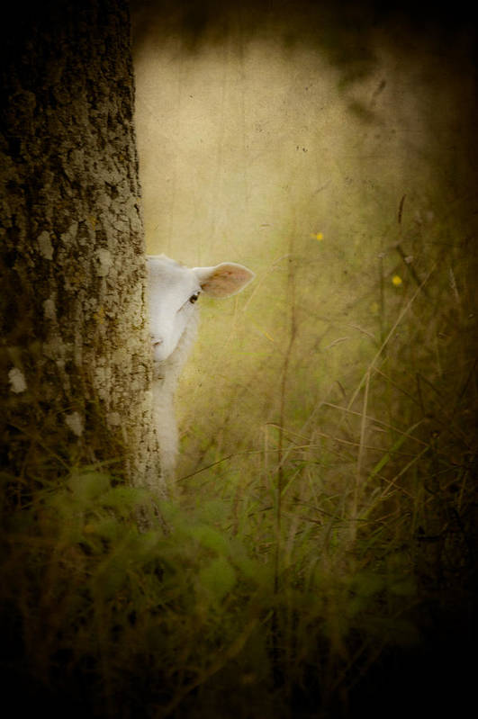 Loriental Print featuring the photograph The Shy Lamb by Loriental Photography