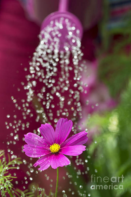Pink Print featuring the photograph Watering The Cosmos by Tim Gainey