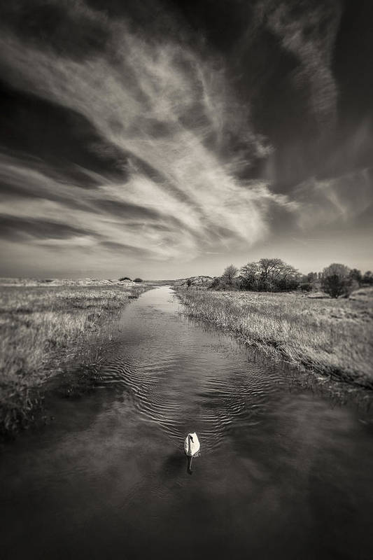 White Swan Print featuring the photograph White Swan by Dave Bowman