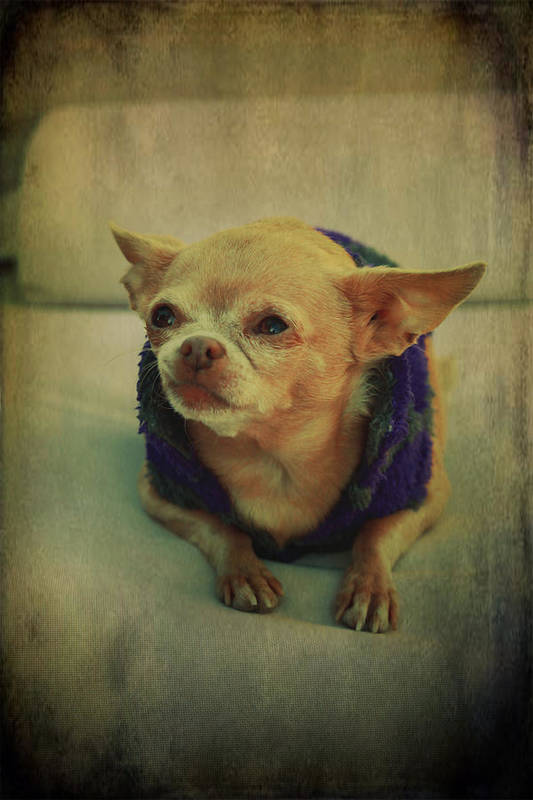 Chihuahuas Print featuring the photograph Zozo by Laurie Search