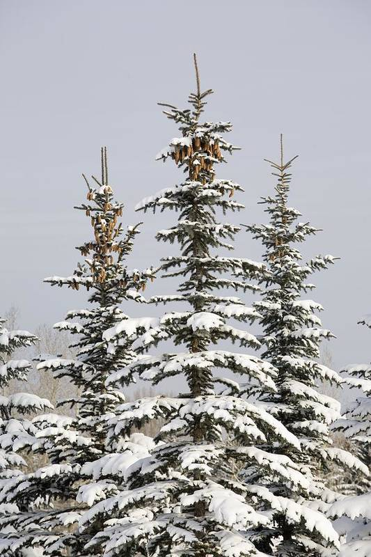 Calgary Print featuring the photograph Snow Covered Evergreen Trees Calgary by Michael Interisano