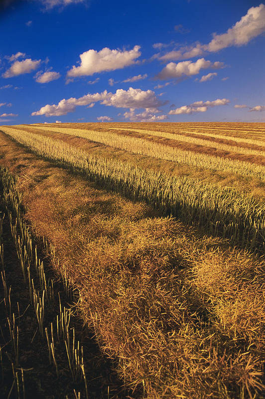Canola Field Print featuring the photograph Canola Field, Tiger Hills, Manitoba by Dave Reede
