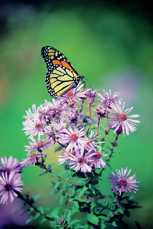 Vertical Print featuring the photograph Close-up Of A Monarch Butterfly (danaus Plexippus ) On A Perennial Aster by Medioimages/Photodisc