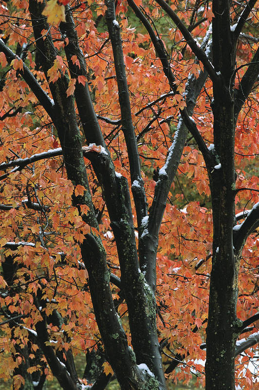 Outdoors Print featuring the photograph Fall Foliage Of Maple Trees After An by Tim Laman