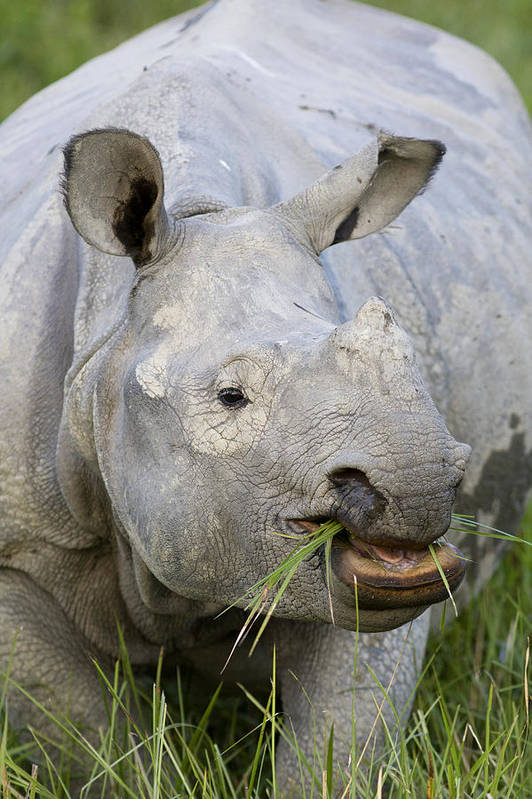 00451346 Print featuring the photograph Indian Rhinoceros Grazing Kaziranga by Suzi Eszterhas