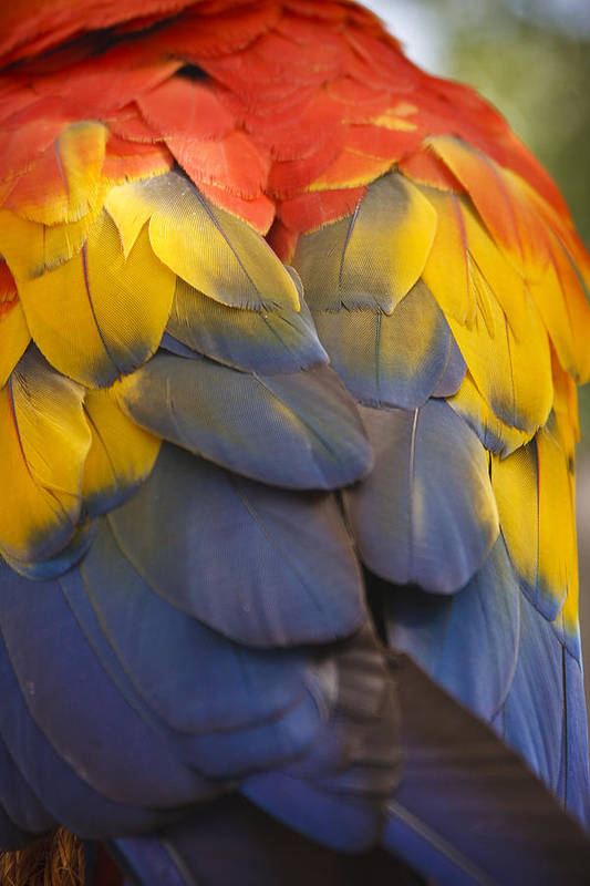 3scape Photos Print featuring the photograph Macaw Parrot Plumes by Adam Romanowicz