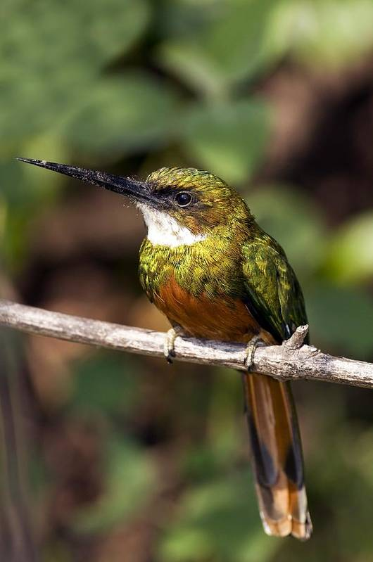 Rufous-tailed Jacamar Print featuring the photograph Rufous-tailed Jacamar Male by Tony Camacho