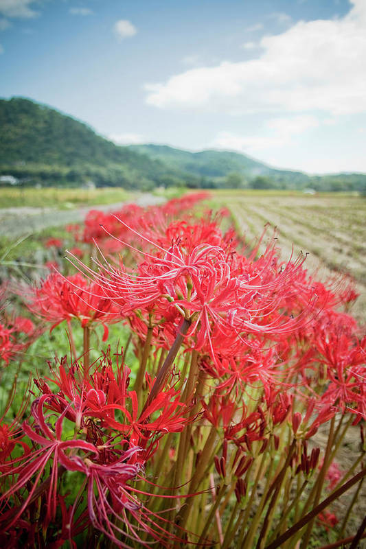 Vertical Print featuring the photograph Spider Lily by Yoshika Sakai