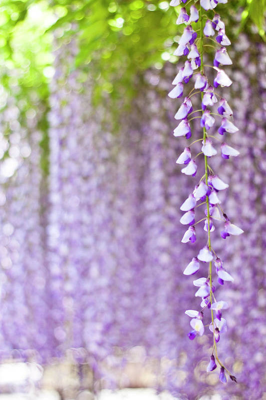 Vertical Print featuring the photograph Wisteria by Yoshika Sakai