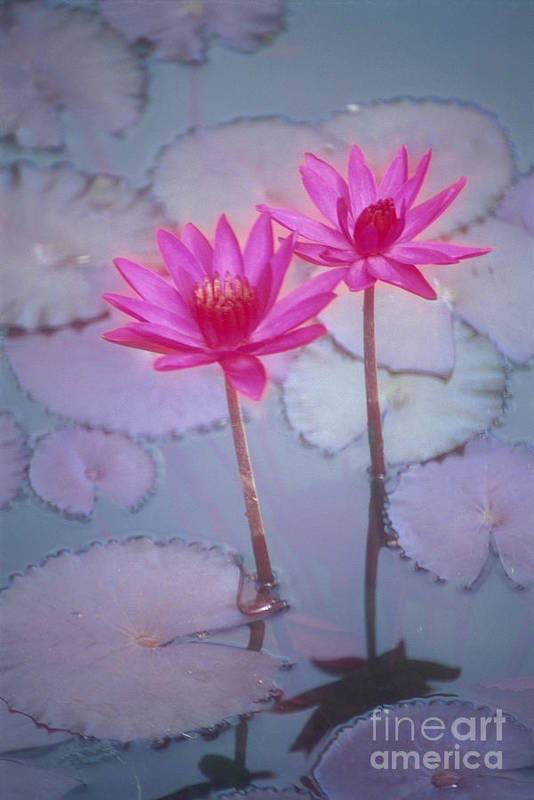 Anther Print featuring the photograph Pink Lily Blossom by Ron Dahlquist - Printscapes