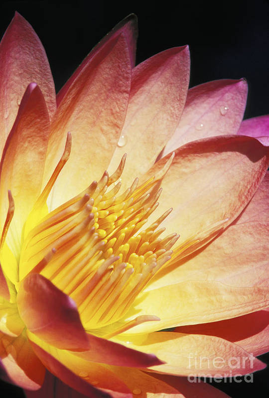 Abstract Print featuring the photograph Pink Water Lily by Bill Brennan - Printscapes