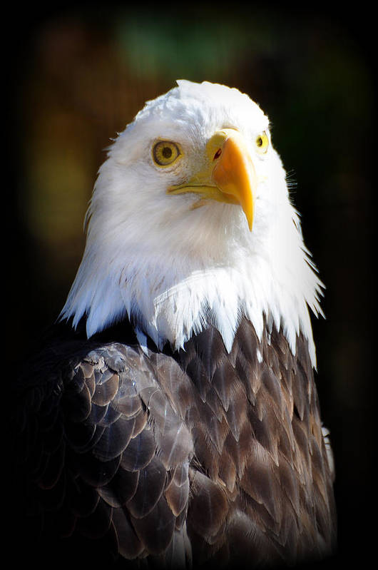 Eagle Print featuring the photograph Eagle 14 by Marty Koch