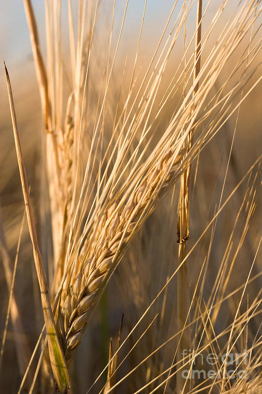 Agriculture Print featuring the photograph Golden Grain by Cindy Singleton